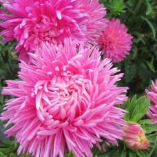 Астра пионовидная Дюшес розовая