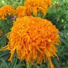 Бархатцы прямостоячие Оранжевая хризантема