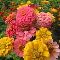 Цинния георгиноцветковая Пеппито микс