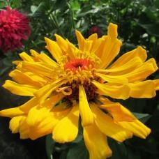 Цинния кактусовидная Микс