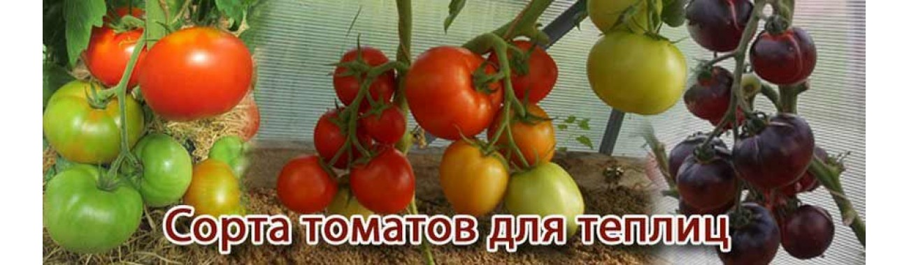 Сорта томатов для теплиц