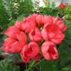 Тюльпановидные