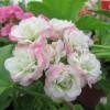 Розебудные