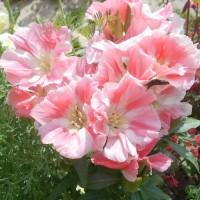 Семена других цветов (49)