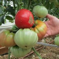 Крупноплодные томаты (23)