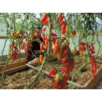 Мелкоплодные томаты (8)