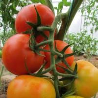 Среднеплодные томаты (57)