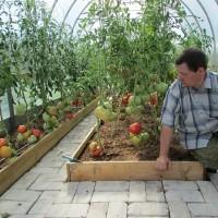 Сорта томатов для теплиц (58)