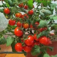 Комнатные томаты. Выращивание томатов зимой