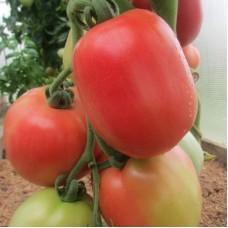 Сорт томатов - Лото