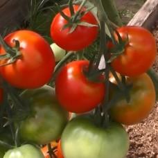 Сорт томатов - Слет