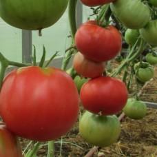 Сорт томатов - Зарево