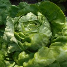 Кочанный салат Великан