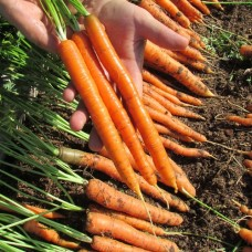Морковь — «Сластена»