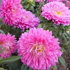 Астра низкорослая Розовый ковёр