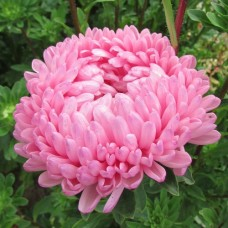 Астра королевский размер Розовая