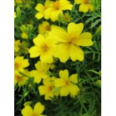 Бархатцы тонколистые Лимонный Самоцвет