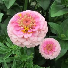 Цинния  Розовый лиллипут