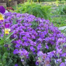 Аубреция фиолетовая